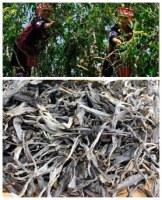 Pu er cru vieil arbre à thé nouvelle récolte printemps 2016 en vrac