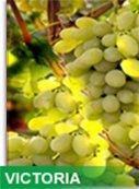 Vigne de table blanche variété VICTORIA structure de 20 Ha