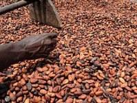 Graines de cacao sèches naturelles