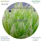 50Pcs A Set Haworthia aristata var. aristata Seed DGF-S-HH004