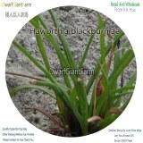50Pcs A Set Haworthia blackburniae Seed DGF-S-HH009