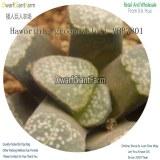 50Pcs A Set Haworthia groenewaldii MBB7801 Seed DGF-S-HH041