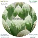 50Pcs A Set Haworthia hybrid Green Gem Seed DGF-S-HH045