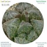 50Pcs A Set Haworthia hybridMirrorball big leaf Seed DGF-S-HH046