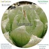 50Pcs A Set Haworthia lockwoodii Seed DGF-S-HH056