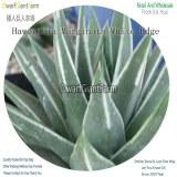 50Pcs A Set Haworthia Marginata White Edge Seed DGF-S-HH061