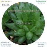 50Pcs A Set Haworthia marumiana var. marumiana Seed DGF-S-HH063