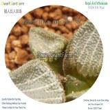 50Pcs A Set Haworthia marxii ND Seed DGF-S-HH064