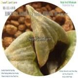 50Pcs A Set HAWORTHIA MIRABILIS badia MBB6635 NW Napier Seed DGF-S-HH070