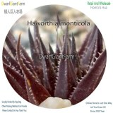 50Pcs A Set Haworthia monticola Seed DGF-S-HH073