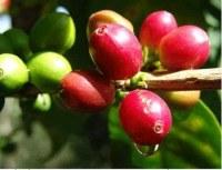 Organic café vert