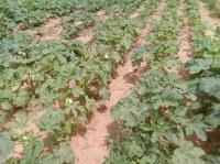Vente de légumes frais (Gombo, Tomate, Poivron, Aubergine, Jaxatu)