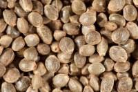 Les graines de chanvre décortiquées