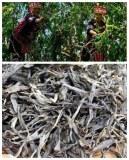 Pu er cru vieil arbre à thé nouvelle récolte printemps 2017 en vrac