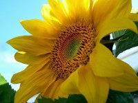 Oil sunflower