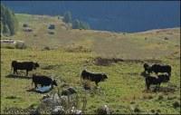 Achat de 80 veaux par mois pour Algérie